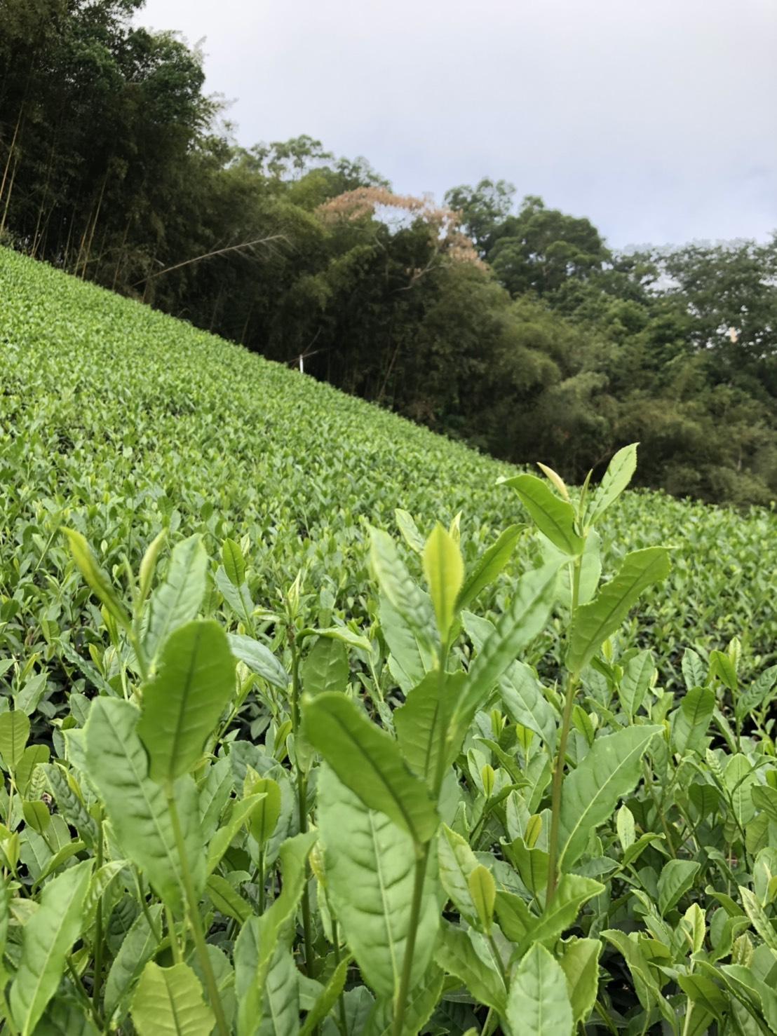 大紅袍分株台灣有成 茶農種茶好真功夫